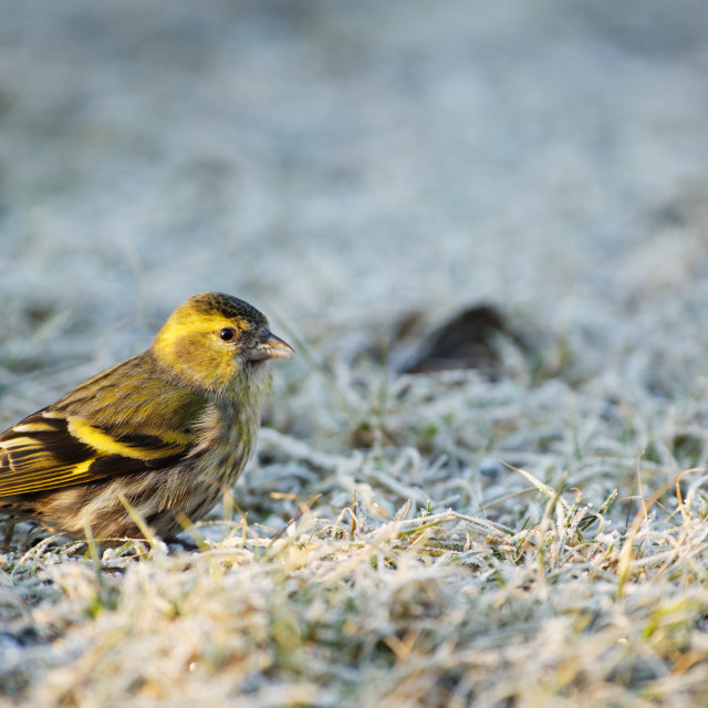 """Siskin (Carduelis spinus) on the ground"" stock image"