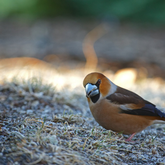 """Hawfinch (Coccothraustes coccothraustes) on the frosted grass"" stock image"