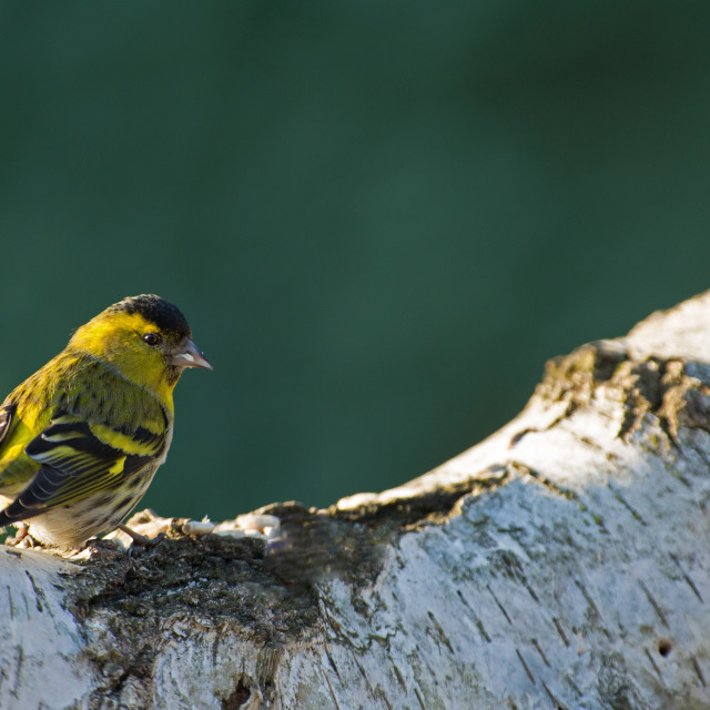 """Siskin (Carduelis spinus) male on the birch tree trunk"" stock image"