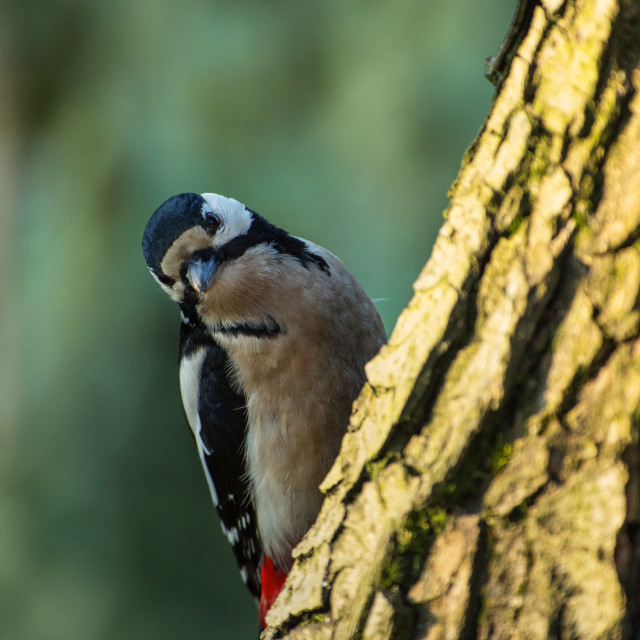 """Greater spotted woodpecker (Dendrocopos major) on the tree trunk"" stock image"