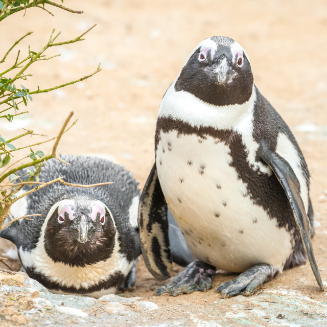 """African penguins"" stock image"