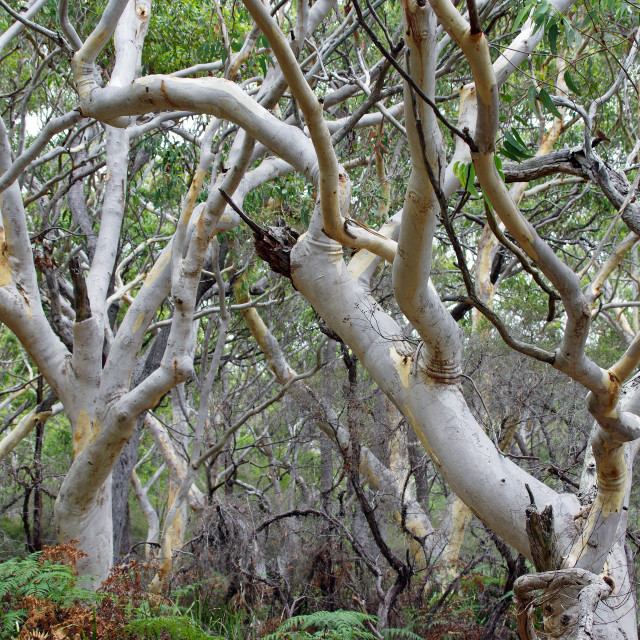 """bush gum trees"" stock image"