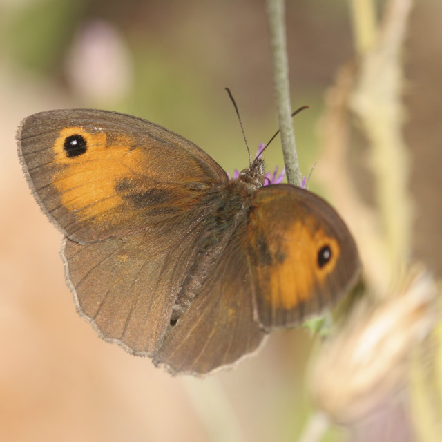 """meadow brown (Maniola telmessia)"" stock image"