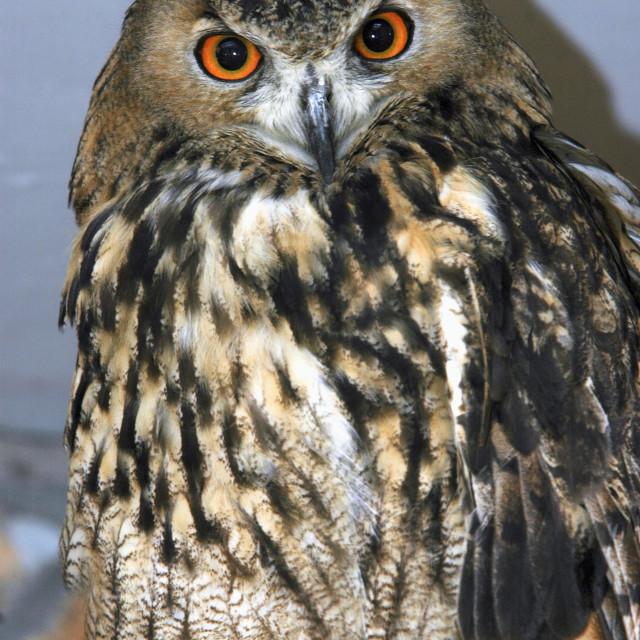 """Eurasian Eagle Owl (Bubo bubo)"" stock image"