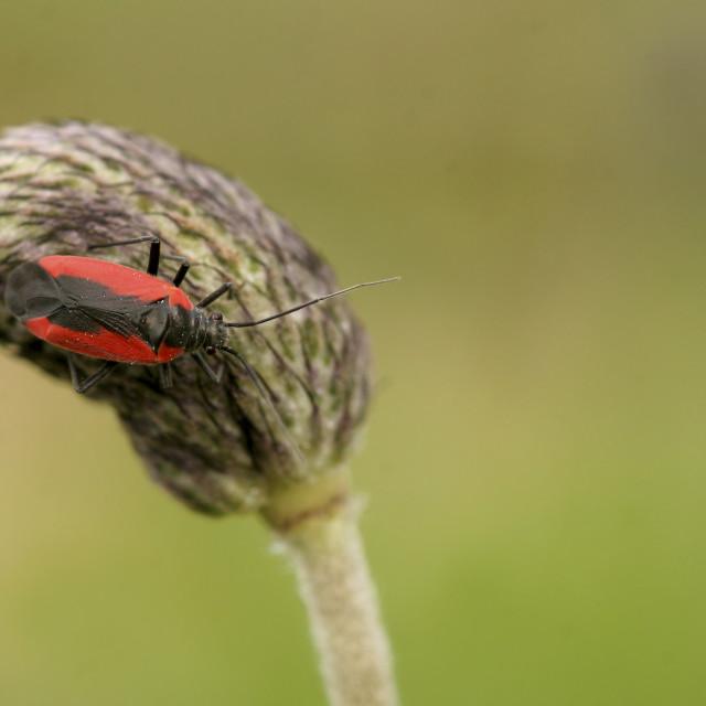 """""""Close up of a Dionconotus cruentatus"""" stock image"""