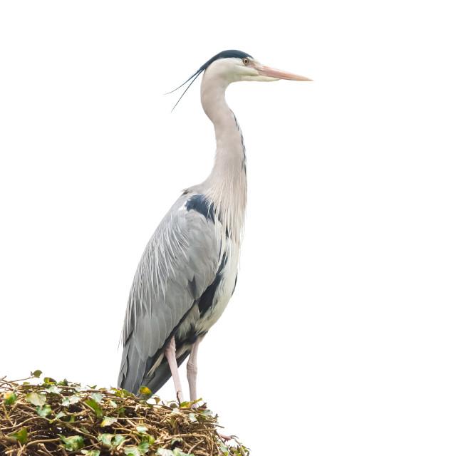 """grey heron on white"" stock image"