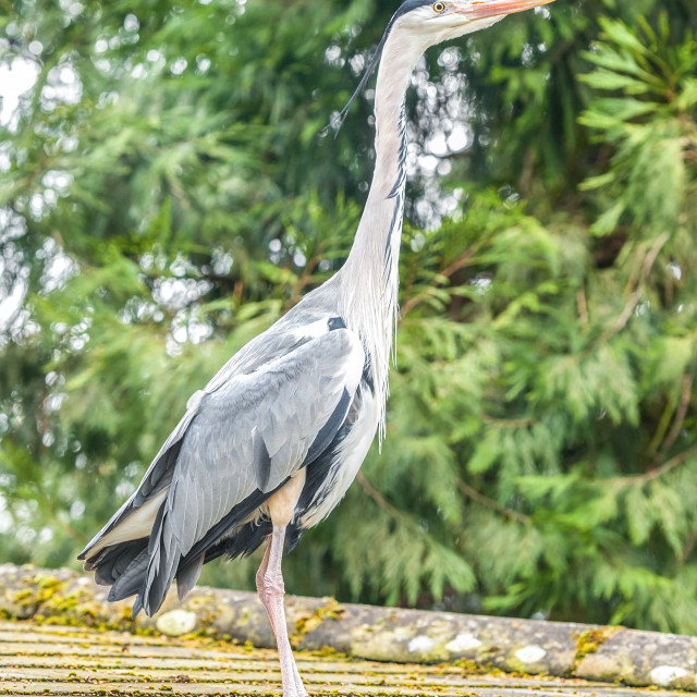"""grey heron on a rooftop"" stock image"