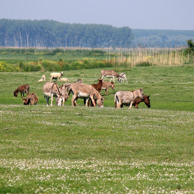 """""""donkeys on pasture summer season"""" stock image"""