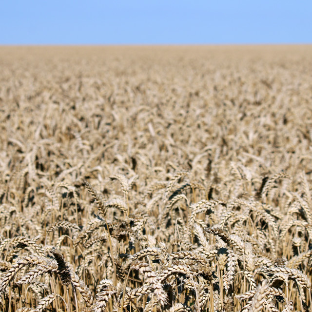 """""""golden wheat field landscape agriculture"""" stock image"""