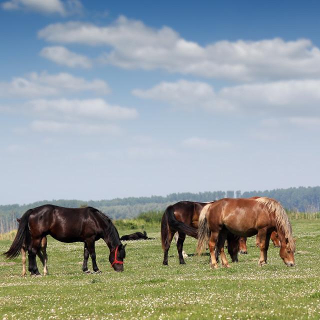 """Horses on pasture summer season"" stock image"