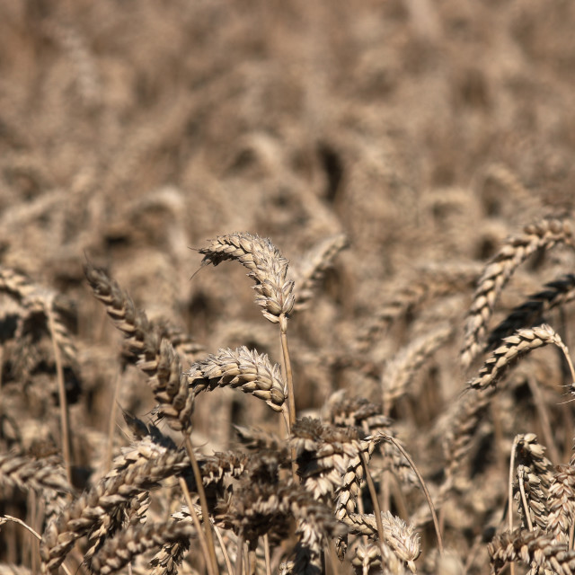 """""""wheat field agriculture summer season"""" stock image"""