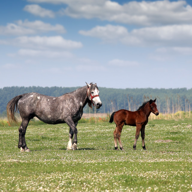 """""""mare and foal on pasture"""" stock image"""