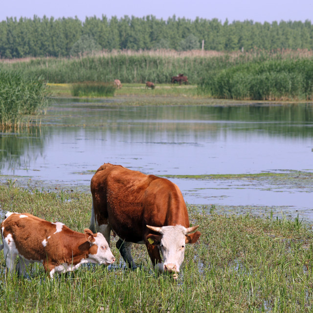 """""""cow and calf on pasture"""" stock image"""