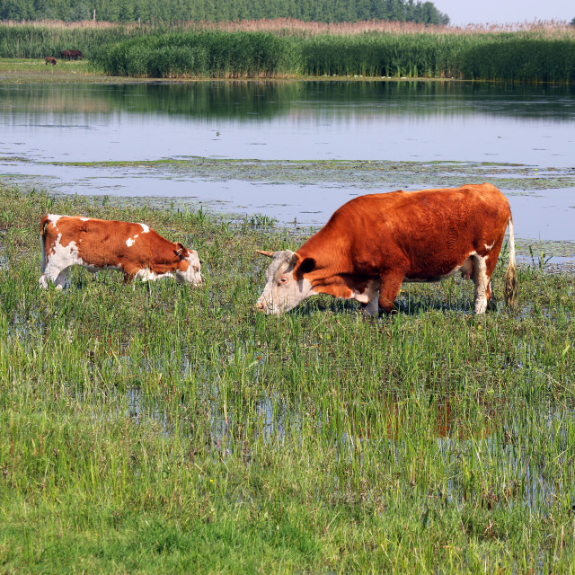 """""""cow and calf on pasture near river summer season"""" stock image"""