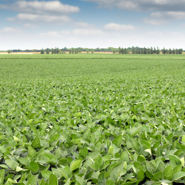 """""""soya bean field landscape agriculture"""" stock image"""
