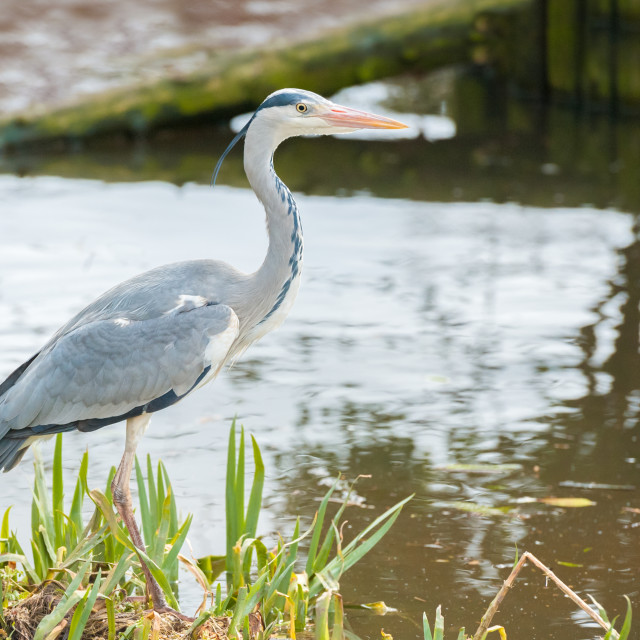 """grey heron on a riverbank"" stock image"