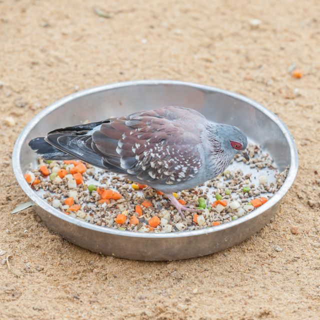 """African rock pigeon"" stock image"