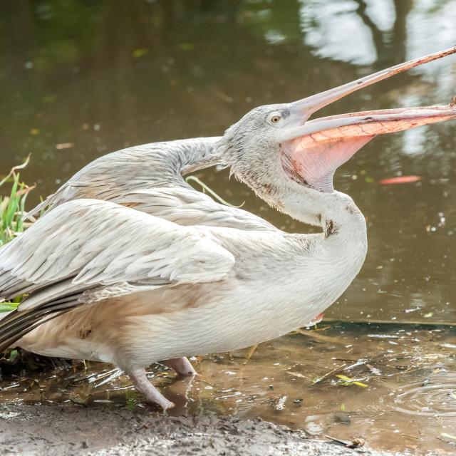 """""""pelican feeding"""" stock image"""