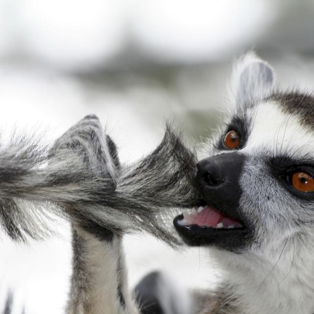 """Ring-tailed Lemur (Lemur catta)"" stock image"