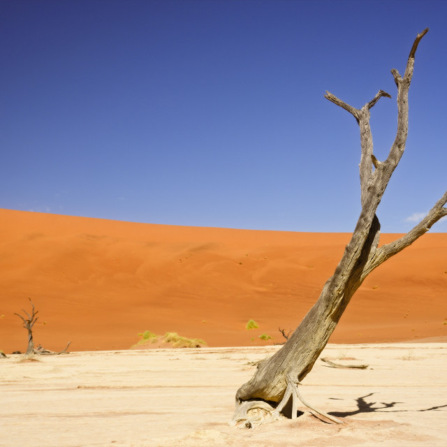 """Deadvlei Tree"" stock image"