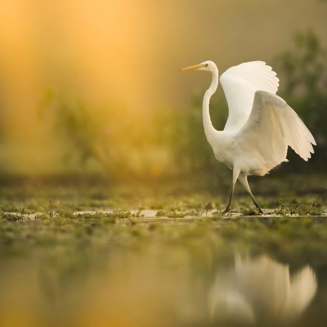"""The Great White Egret in Marsh land at sunrise"" stock image"