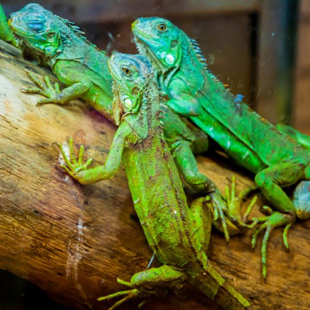 """Three Green Lizards"" stock image"