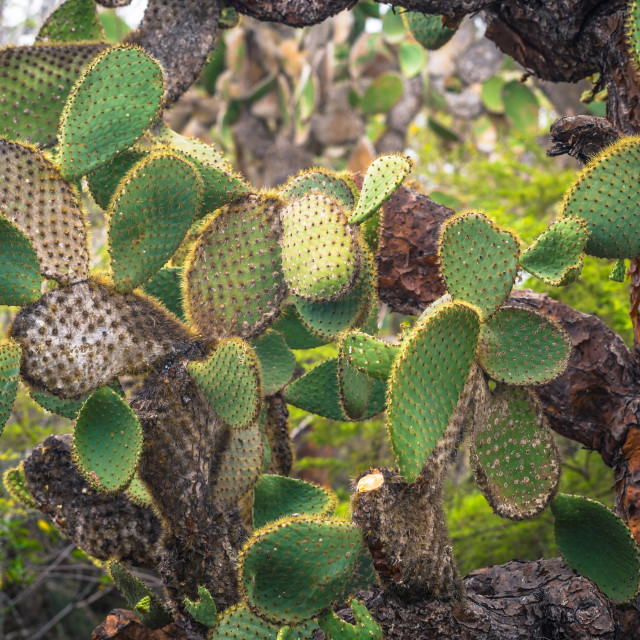 """""""Galapagos Islands - August 23, 2017: Cactuses in the Darwin Research center..."""" stock image"""