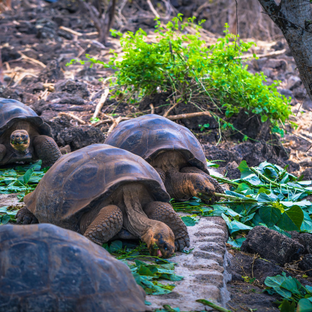 """""""Galapagos Islands - August 23, 2017: Giant land Tortoises in the Darwin..."""" stock image"""