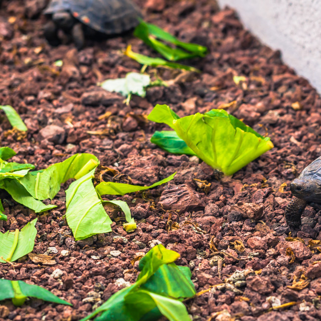 """""""Galapagos Islands - August 23, 2017: Baby Giant land Tortoises in the Darwin..."""" stock image"""