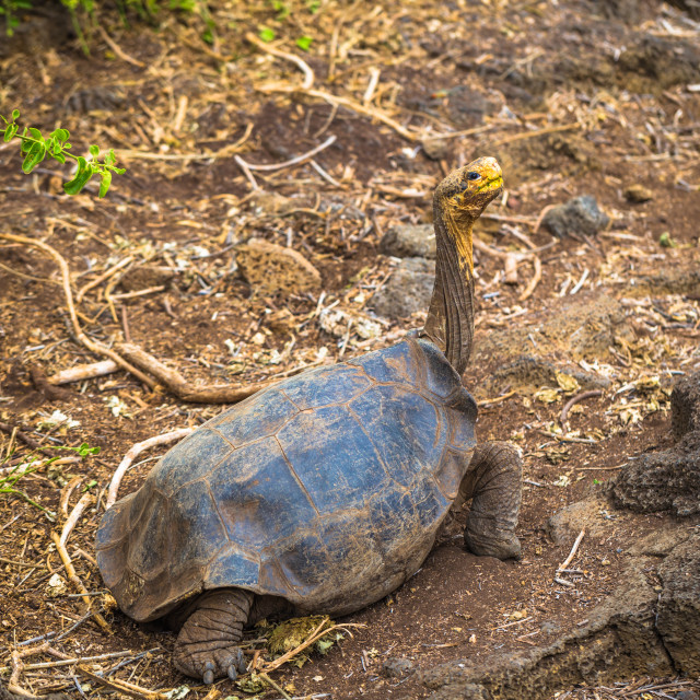 """""""Galapagos Islands - August 23, 2017: Giant land Tortoise in the Darwin..."""" stock image"""