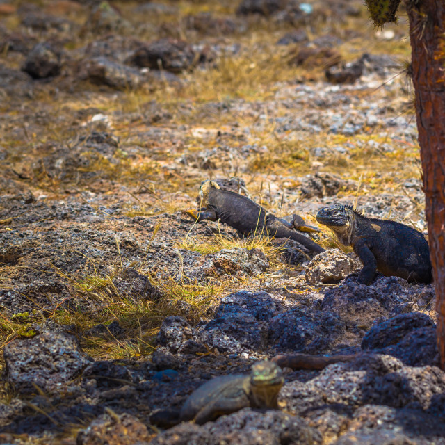 """""""Galapagos Islands - August 24, 2017: Endemic Land Iguana in Plaza Sur island,..."""" stock image"""