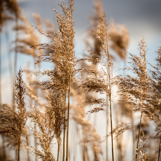 """dried grass heads"" stock image"
