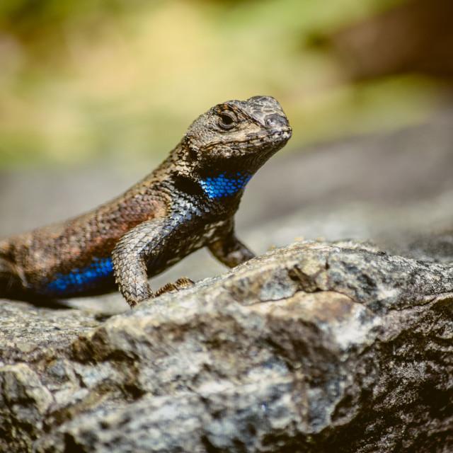 """""""Eastern Fence Lizard (Sceloporus undulatus)"""" stock image"""