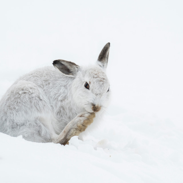 """Mountain Hare (Lepus timidus) grooming in snow"" stock image"