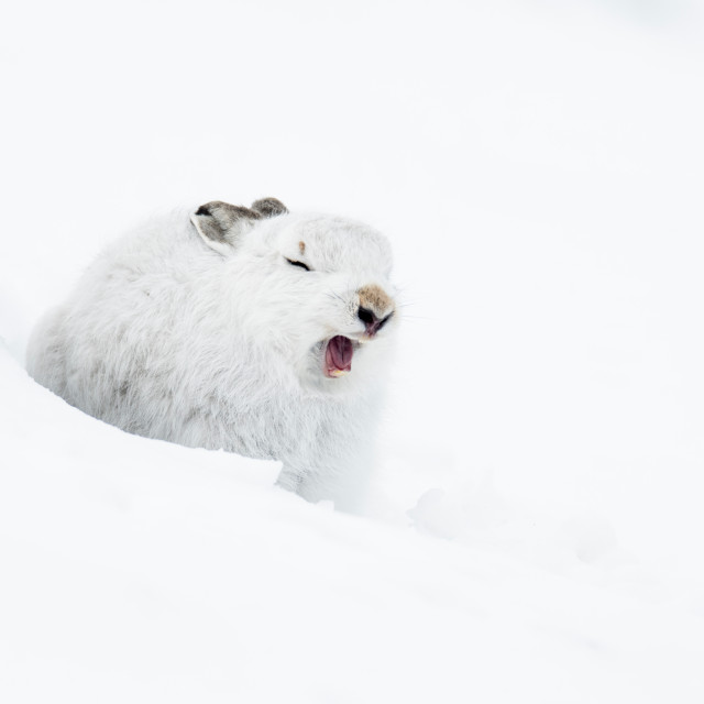 """Mountain Hare (Lepus timidus) yawning in snow"" stock image"