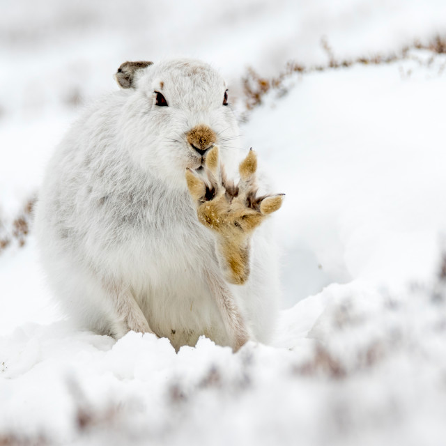 """Mountain Hare (Lepus timidus) with paw outstretched in snow"" stock image"