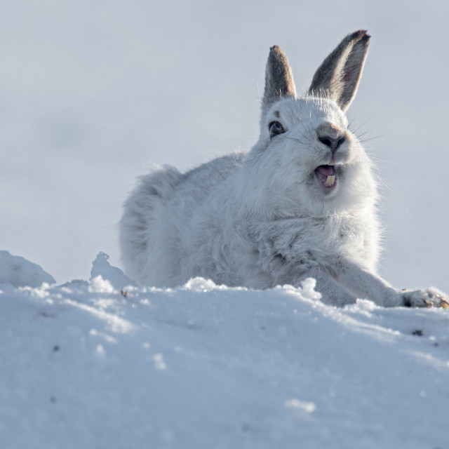 """Mountain Hare (Lepus timidus) stretching on snow"" stock image"