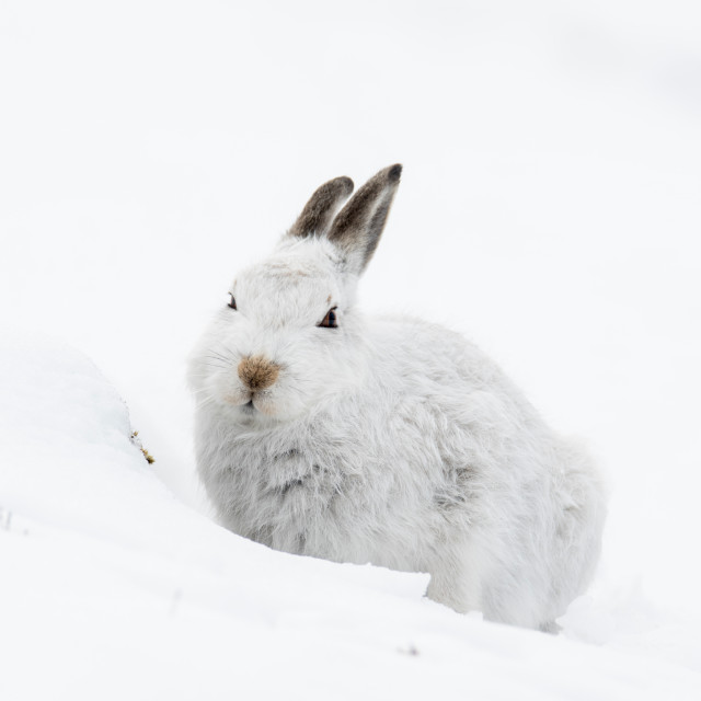 """Mountain Hare (Lepus timidus) in snow"" stock image"