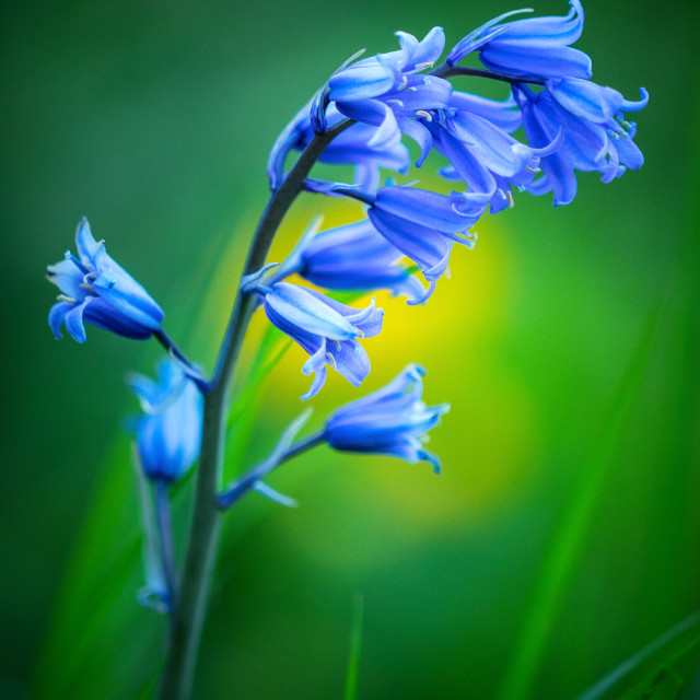 """Green, Yellow And Bluebells"" stock image"