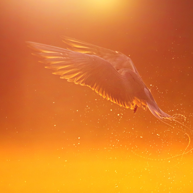 """The River tern hunting at sunrise"" stock image"