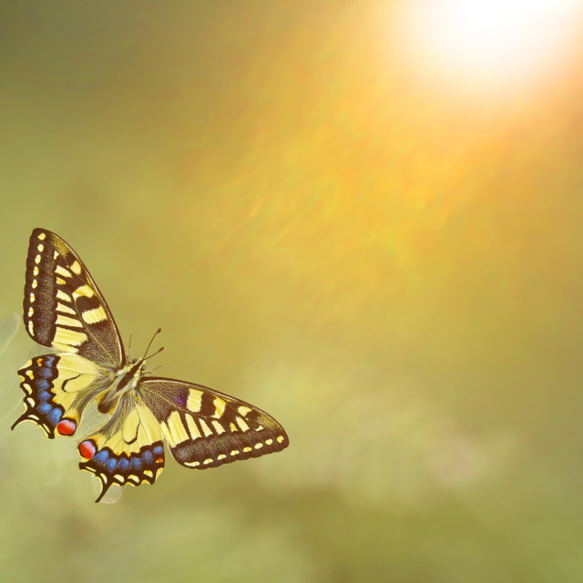 """Papilio machaon, the Old World swallowtail"" stock image"
