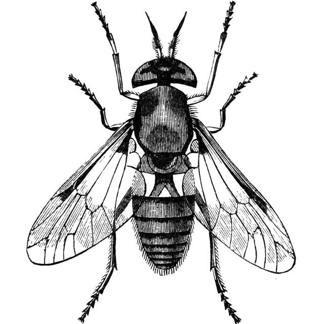 """gadfly vintage illustration"" stock image"