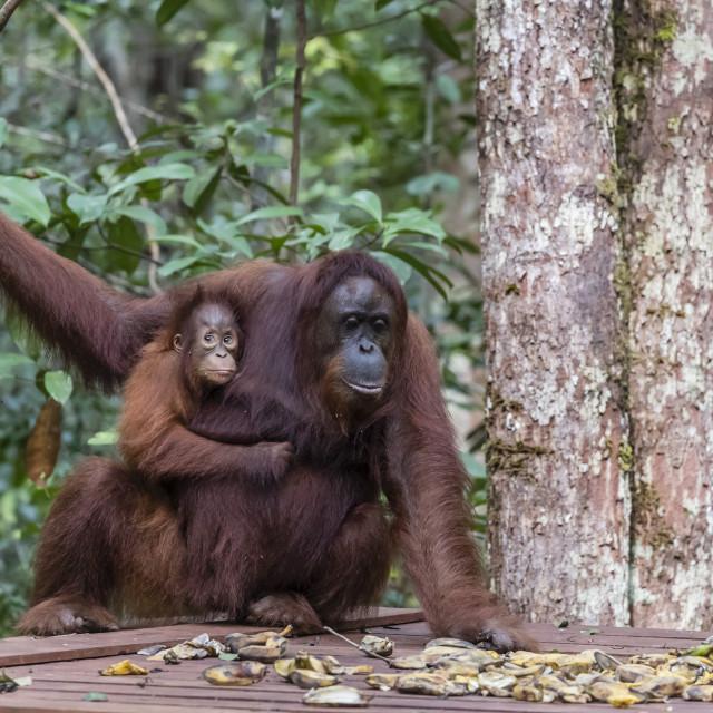 """Mother and baby Bornean orangutans, Pongo pygmaeus, Camp Leakey feeding..."" stock image"