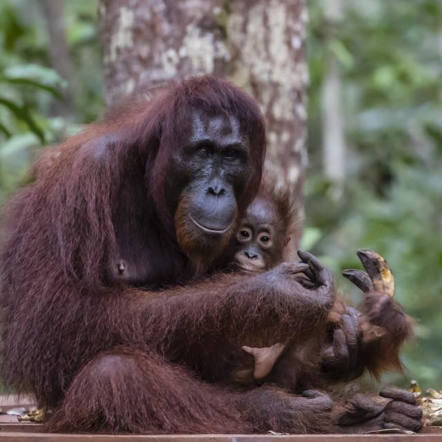 """Mother and baby Bornean orangutan, Pongo pygmaeus, at Camp Leakey, Borneo,..."" stock image"