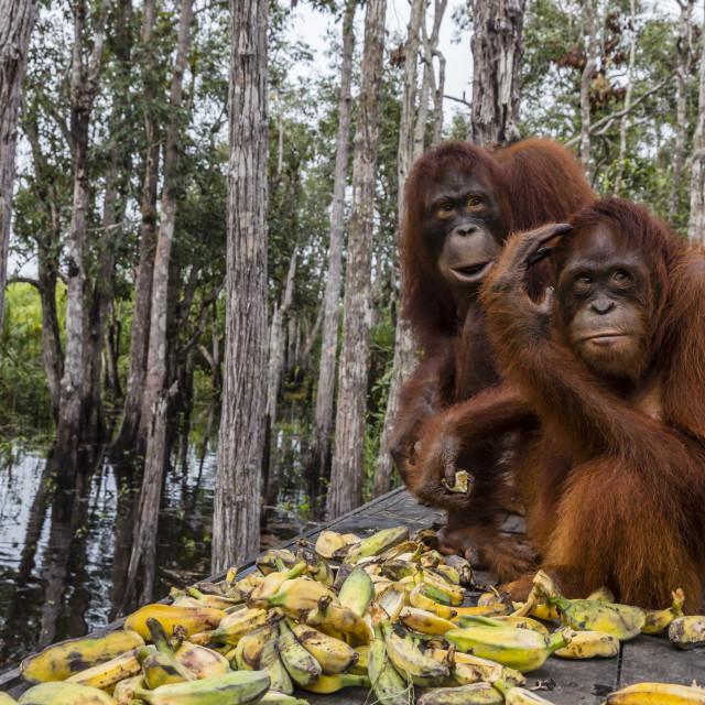 """Mother and baby Bornean orangutans, Pongo pygmaeus, Buluh Kecil River,..."" stock image"