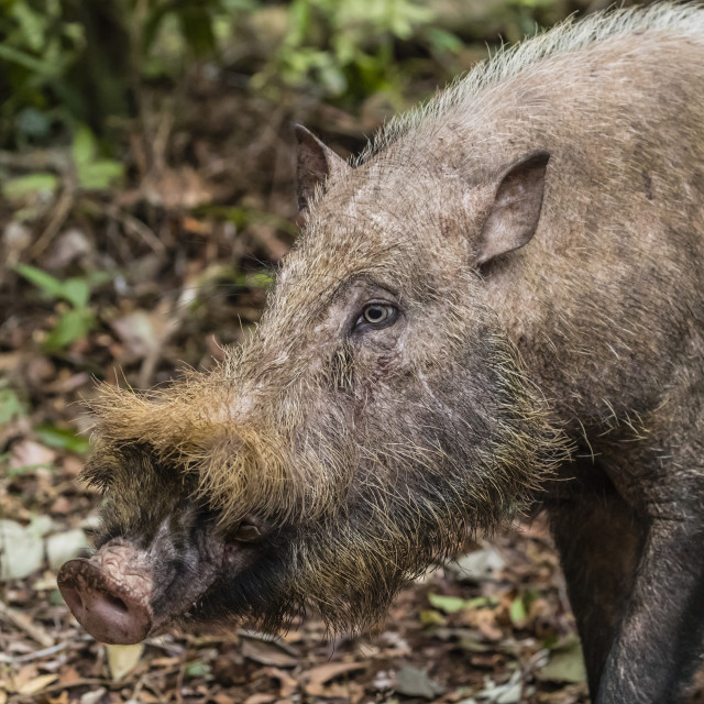 """""""Adult Bornean bearded pig, Sus barbatus, Tanjung Puting National Park,..."""" stock image"""