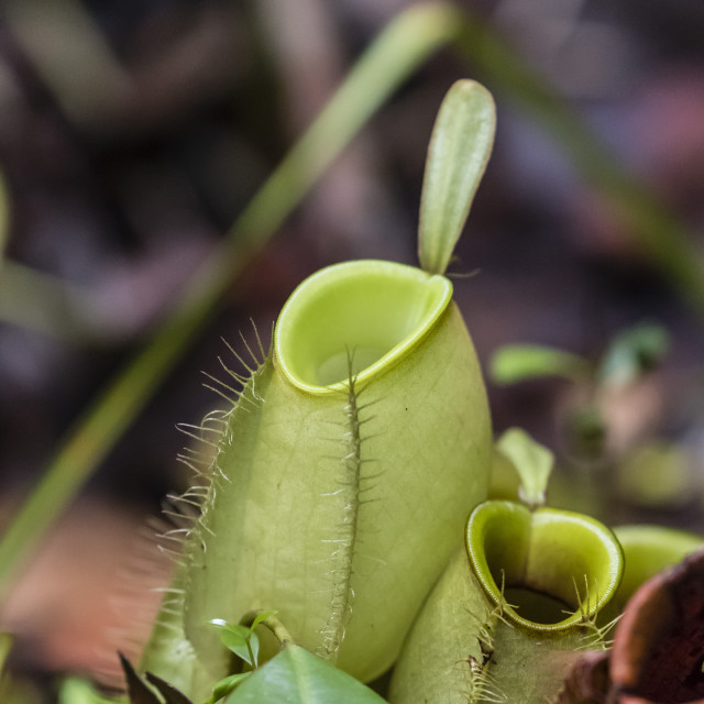 """""""Pitcher plant in the rain forest, Tanjung Puting National Park, Borneo,..."""" stock image"""