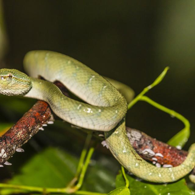 """Bornean keeled green pit viper, Tropidolaemus subannulatus,Tanjung Puting..."" stock image"