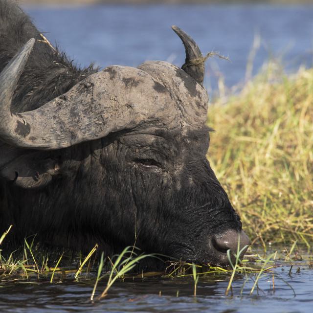 """Cape buffalo (Syncerus caffer), Chobe river, Botswana, June 2017"" stock image"