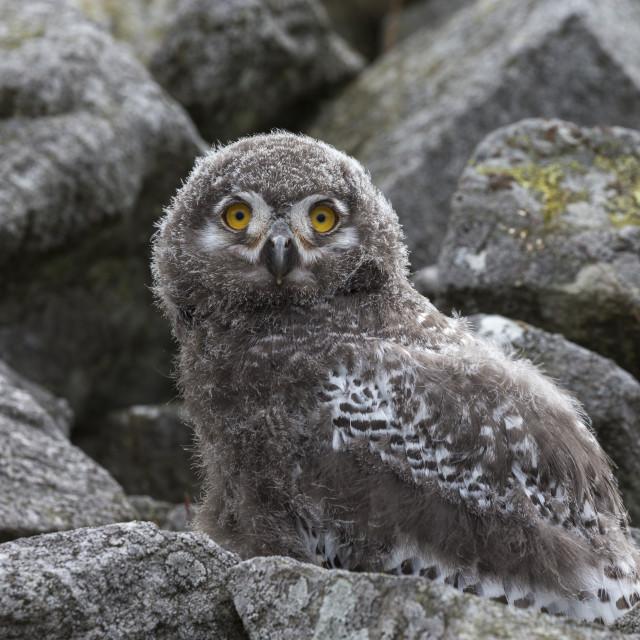 """""""European (Eurasian) eagle owl (Bubo bubo) chick, captive, Cumbria, UK, August..."""" stock image"""